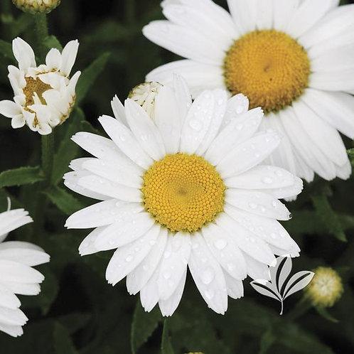 Leucanthemum x superbum 'Snow Cap' Shasta Daisy 1G