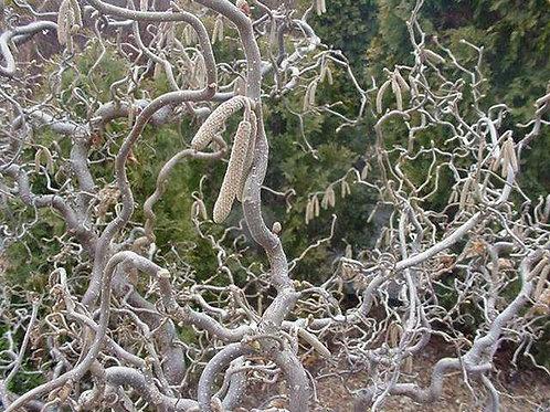 Corylus Contorta, Harry Lauder's Walking Stick (multiple sizes)