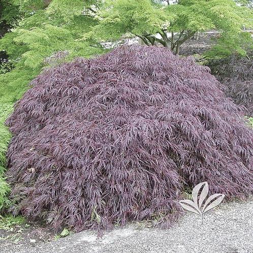 Japanese Maple, (dissectum), 'Crimson Queen' Jr Specimen