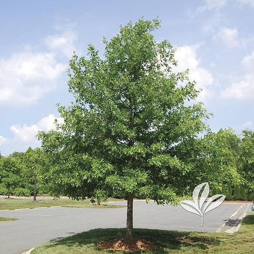 Oak, Overcup (multiple sizes)