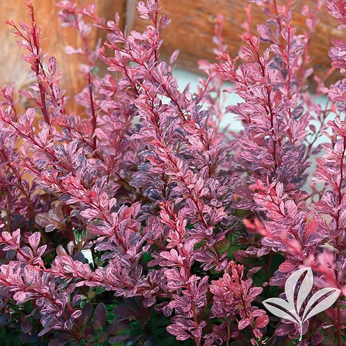 Barberry, 'Rosy Glow' 3G