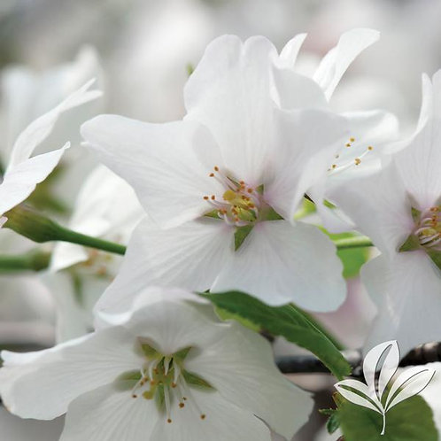 Cherry, Yoshino (multiple sizes)
