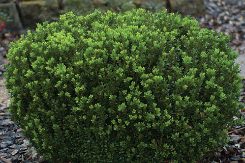 Boxwood, 'Baby Gem™' (multiple sizes)