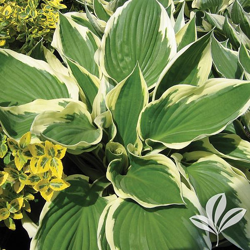 Hosta, 'Patriot' 1G