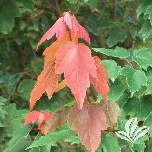 """Maple, 'Summer Red' 3"""""""