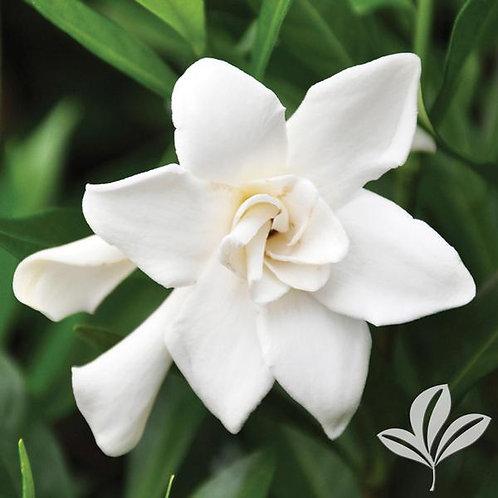 Gardenia, 'Frostproof' 3G