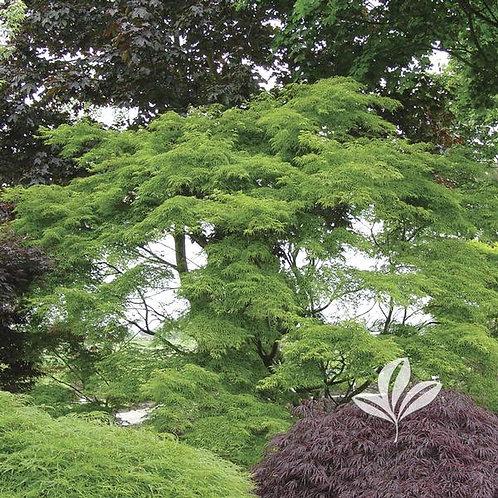 Japanese Maple,  'Seiryu' 15G
