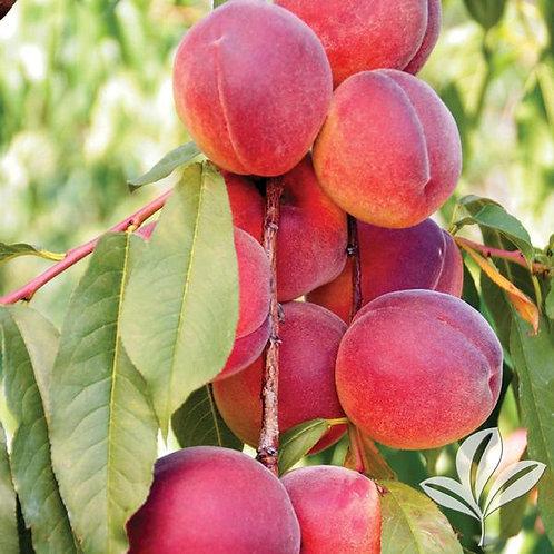 Peach Tree, 'Belle of Georgia' 5G