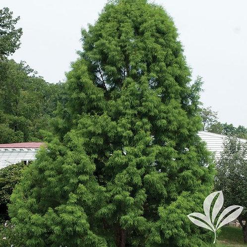 Cypress, Bald 15G