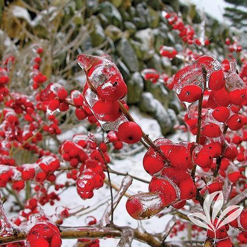 Holly, Verticillata 'Red Sprite' 3G
