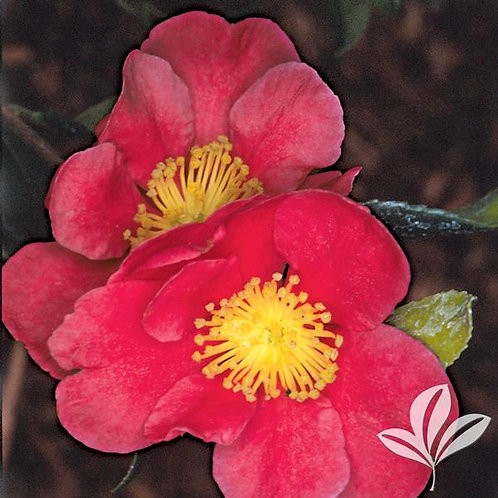 Camellia Sasanqua, 'Yuletide' (multiple sizes)