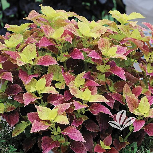 Coleus, Alabama Sunset - Flat of 18