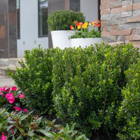 Boxwood, 'Baby Jade' (multiple sizes)