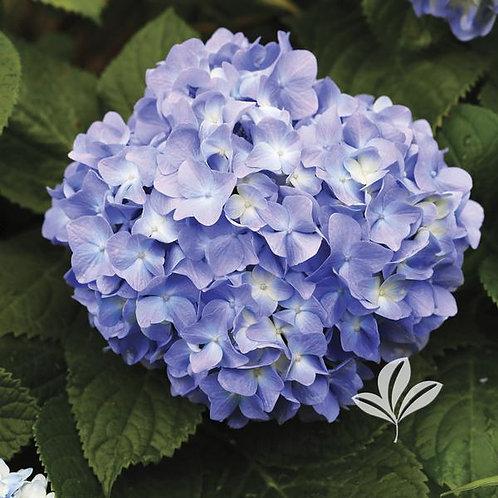 Hydrangea, 'Nikko Blue' 3G