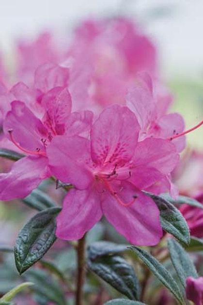 Azalea Encore Series, Autumn Amethyst® 3G