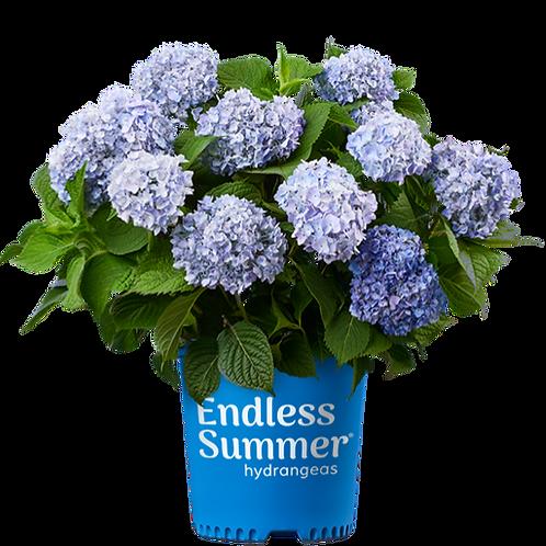 Hydrangea, 'Endless Summer®' 3G