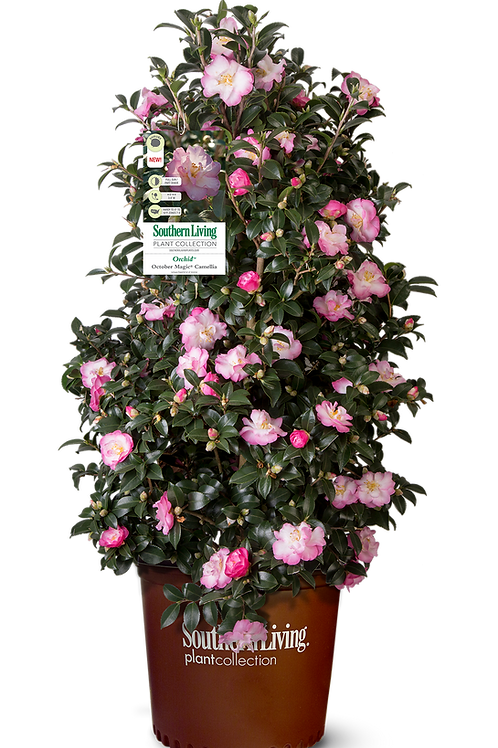 Camellia Sasanqua, 'October Magic® Orchid™' (multiple sizes)