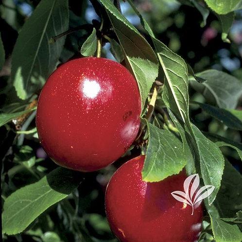 Plum, Fruit Tree 'Burbank' 5G