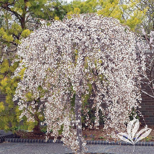Cherry, Weeping White 'Snow Fountain®' 15G