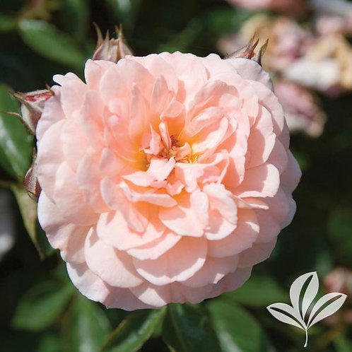 Rose, Drift® Apricot 3G