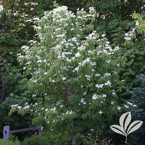 Dogwood Kousa (multiple sizes)