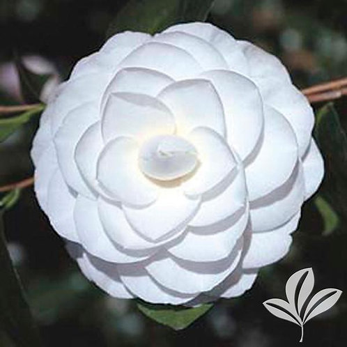 Camellia Japonica, 'Seafoam' (multiple sizes)