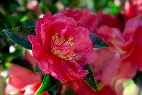 Camellia Sasanqua, 'October Magic® Rose™' 3G