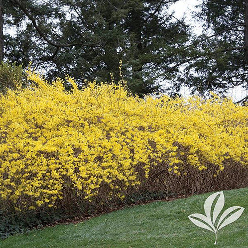 Forsythia, 'Lynwood Gold' 3G