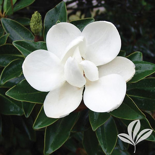 Magnolia, Grandiflora 'Little Gem' 10'