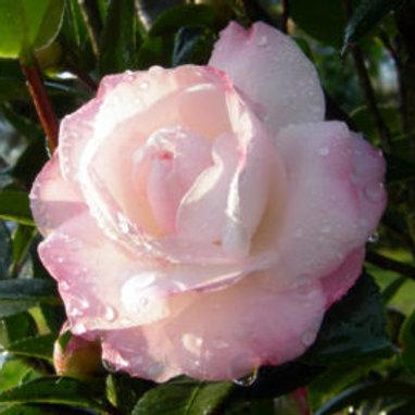Camellia Sasanqua, 'October Magic® Dawn™' 3G