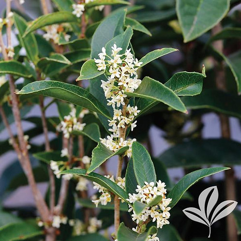 Osmanthus Fragrans (multiple sizes)