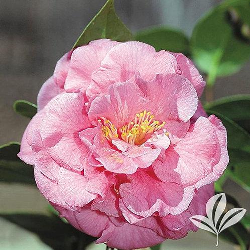 Camellia Japonica, 'Ack-Scent' 3G