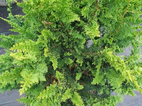 Cypress, Fernspray 3G