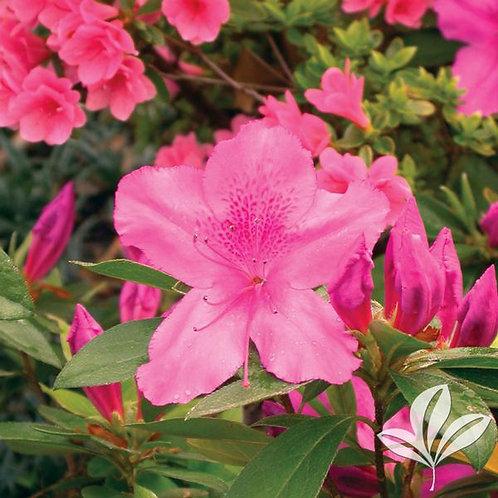 Azalea So Indica, Formosa 7G