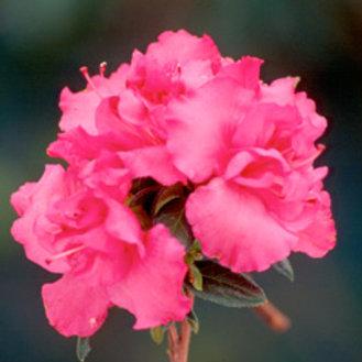 Azalea, Pink Ruffle 3G