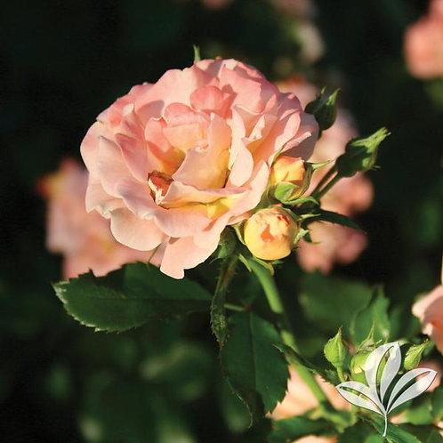 Rose, Drift® Peach 3G