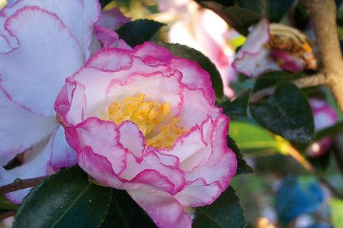 Camellia Sasanqua, 'October Magic® Inspiration™' (multiple sizes)