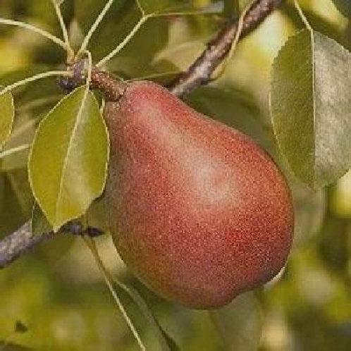 Pear Tree, 'Pineapple' 5G