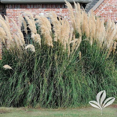 Pampas Grass 3G