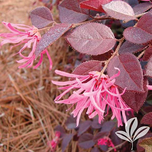 Loropetalum, 'Crimson Fire™' 3G