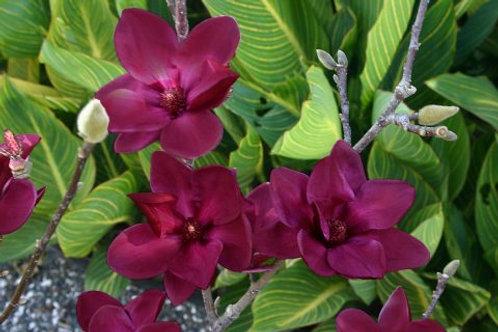 Magnolia x 'Genie' 7G