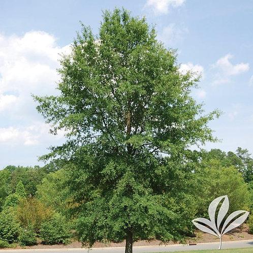 """Oak, Willow 3"""""""