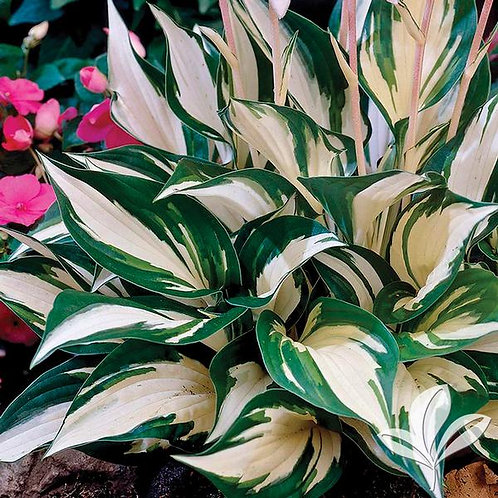 Hosta, 'Fire & Ice' 1G