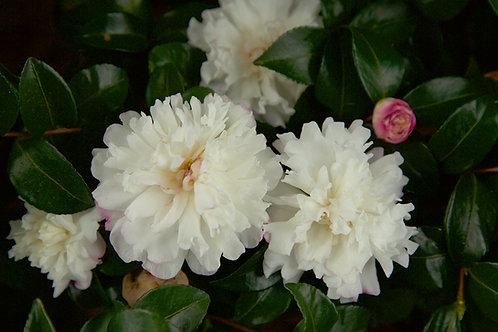 Camellia Sasanqua, 'October Magic® Snow™' (multiple sizes)