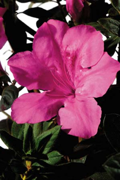 Azalea Encore Series, Autumn Sangria® 7G