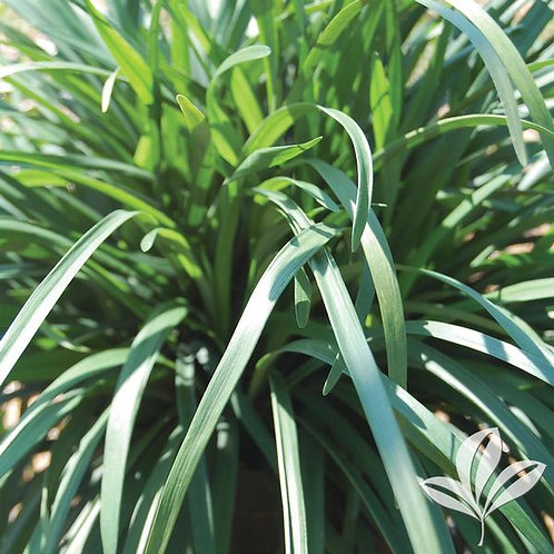 "Liriope, Big Blue 4"" - Flat of 18"