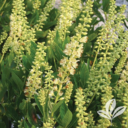 Clethra Alnifolia, 'Sixteen Candles' 3G