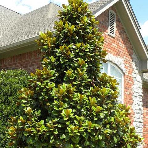 Magnolia, Grandiflora 'Teddy Bear®' 45G