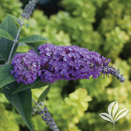 Buddleia, Purple Haze 3G