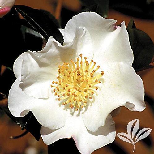 Camellia Sasanqua, 'Setsugekka' 15G Espalier